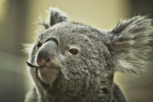 オーストラリアのコアラ